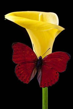 Red butterfly and calla lily photo by Garry Gay