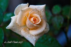 Rose | by tuanleanh5561