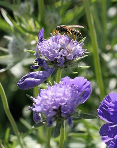 Scabiosa 'Fama Blue' & Wasp