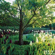 Oscar de la Renta - 'White Triumphator' and nearly black 'Queen of Night' tulips, Connecticut. Connecticut, Queen, Night, Tulips, Black, Traditional Landscape, Fruit, Oscar De La Renta, Tulips Flowers