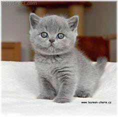 britsh blue cats   British Shorthair blue kittens - In vendita - AdsClassificato.it