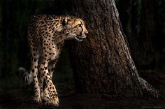 Cheetah (foto: Wolf Ademeit)