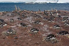 Nesting Gentoo Penguins, Port Lockroy, Antarctica | Flickr - Photo Sharing!