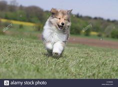 dog-rough-collie-scottish-collie-puppy-sable-white-running-in-a-meadow-D1WEEE.jpg (1300×956)