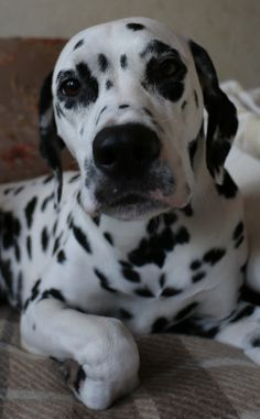 Dalmatian Lika. Birthday (29.06.2015): 4 years !!! :)