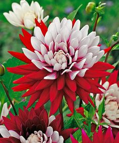 """Le dahlia """"Rebecca's World"""" est éblouissant ! La combinaison du rouge ardent et du blanc attire tous les regards."""