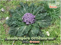 Rare plants, cacti and seeds as well as healthy foods from all over the world and wonderful incenses, etc. Rare Plants, Planting, Cactus, Seeds, Healthy Recipes, Vegetables, Nature, Food, Plants