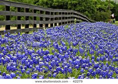Ever wondered how to grow your own Texas Bluebonnets?