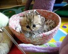Super Fluffy Kitten
