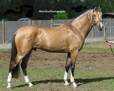 2010 Metallic Buckskin Akhal Teke Stallion being chosen to breed to Warm-blood stock.