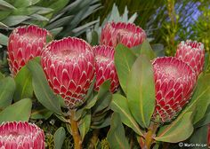 is both the botanical name and the English common name of a genus of South African flowering plants, sometimes also called sugarbushes Protea Flower, My Flower, Flower Patch, National Botanical Gardens, Weird Plants, Alpine Plants, Rose Trees, Chelsea Flower Show, Garden Plants
