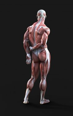 Render Of Male Figures Pose With Muscle Anatomy Drawing Practice, Human Anatomy Drawing, Human Figure Drawing, Anatomy Study, Human Poses Reference, Pose Reference Photo, Anatomy Reference, Action Pose Reference, Muscle Anatomy