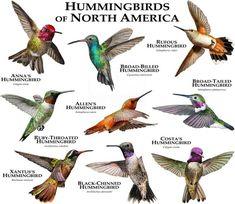 Fine art illustration of various species of hummingbird (Trochilidae) ALLEN'S HUMMINGBIRD (Selasphorus sasin) ANNA'S HUMMINGBIRD (Calypte anna) BLACK-CHINNED HUMMINGBIRD (Archilochus alexandri) BROAD-BILLED HUMMINGBIRD (Cynanthus latirostris) BROAD-TAILED HUMMINGBIRD (Selasphorus
