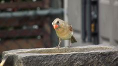 Female Cardinal in our back yard.