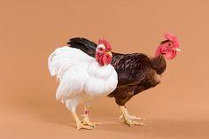 My Pet Chicken - Picture
