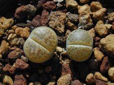 Lithops karasmontana var. lericheana C 193 della famiglia delle Aizoacee