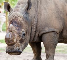 White Rhino, Disney Animal Kingdom, Florida