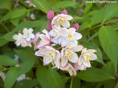 Deutzia gracilis - Google Search
