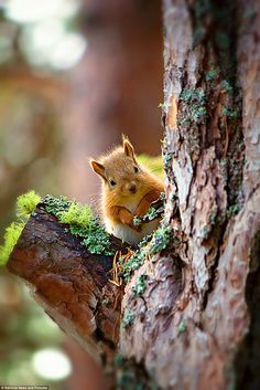 Highly commended: Another red squirrel, captured on camera at the Loch Garten RSPB by wedding photographer Julian Clune, from Hull, als. Cute Baby Animals, Animals And Pets, Funny Animals, Small Animals, Wild Animals, Nature Pictures, Animal Pictures, Beautiful Pictures, Beautiful Creatures