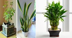 7 Plants that Can Attract Positive Energy in Your Office and Home – Healthy Tips Advice Plantes Feng Shui, Crassula, Positive Energie, Apartment Plants, Creating Positive Energy, Decoration Plante, Plant Needs, Cool Plants, Property Management