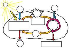 Mitosis vs. Meiosis Worksheet Worksheet Hot Resources