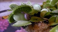 Carnivorous plants like the Venus flytrap capture prey, and minds, with their deadly allure.