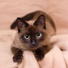 Siamese w blanket