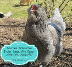 The differences between an Araucana, Ameraucana, Easter Egger, Rainbow Egg Layer, and Olive Egger Chickens explained. Chicken Bird, Chicken Chick, Chicken Eggs, Chicken Lady, Chicken Garden, Chickens And Roosters, Pet Chickens, Chickens Backyard, Maran Chickens