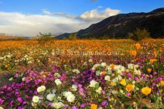 State Parks wildflowers | Acres of wildflowers Anza Borrego desert State Park  http://www.latimes.com/travel/deals/la-tr-california-anza-borrego-wildflowers-20170208-story.html