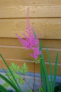 Astilbe, Garden, Flowers, Plants, Garten, Flora, Plant, Lawn And Garden, Royal Icing Flowers