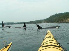 Orcas. San Juan Islands, Washington. Yep, been this close ( but not in a kayak)