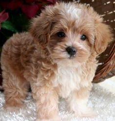 Maltipoo puppy.
