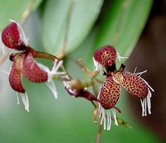 Pleurotallis Species: ornata (schiedei) Origin: Mexico