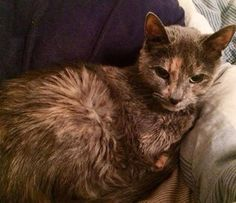 Abbey is a 15-year old, declawed tortie in need of some major love. Her owner passed away suddenly and left her grieving and confused. Abbey was recently diagnosed as hyperthyroid and will need daily medication and blood monitoring every few months for the rest of her life. Please open your home or heart to this deserving old girl 💗 #adoptasenior #adopt #rescue #catsofinstagram #tortie #seniorcat