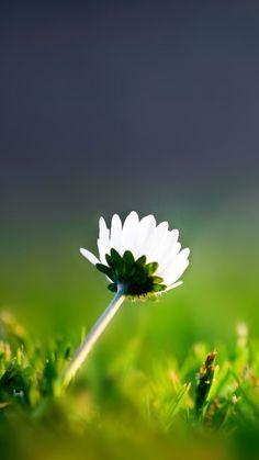 Lone Flower Samsung Galaxy S3 Wallpaper