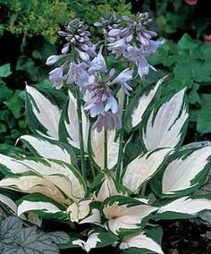 "Hosta 'Fire and Ice' The leaves are slightly curled on this mostly white hosta that has green edges. This hosta is a small to medium size that only grows 8-10"" and like other hostas prefers a shaded planting location."