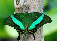 emerald green stuff | The 10 Most Spectacular Butterflies in the World - Decoded Stuff