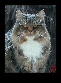 Lioubov - Our mighty snow Cat  by *somk