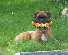 All the balls are mine. Image related to: Boxer , Cutest, Funny, Toys, Yard, Fail
