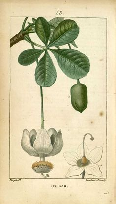img/dessins-gravures de plantes medicinales/baobab.jpg                                                                                                                                                                                 Plus