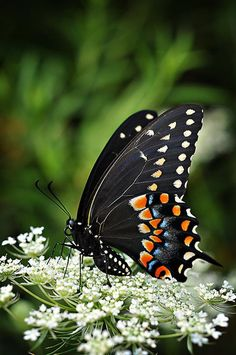Informations About Butterfly Photograph, Black Swallowtail Photography, Butterfly Lovers Gift, Living Room Office Wall Art, Fine Art Nature Photo Print Butterfly Kisses, Butterfly Flowers, Beautiful Bugs, Beautiful Butterflies, Moth Caterpillar, Butterfly Pictures, Photos Of Butterflies, Tier Fotos, Nature Photos