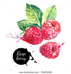 Hand drawn watercolor painting raspberry on white background. Vector illustration of berries - stock vector
