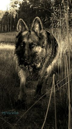 My pregnant long hair german shepherd.  Dream dog! Stunning girl!