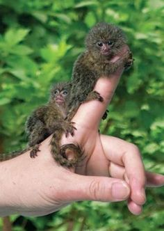 Strange Animals With Unusual Sizes can find Strange animals and more on our website.Strange Animals With Unusual Sizes Ugly Animals, Cute Baby Animals, Strange Animals, Pygmy Marmoset, Marmoset Monkey, Giant Rabbit, Cat Watch, Cute Creatures, Fauna