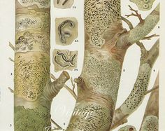 Vintage Antique WOOD LICHEN illustration, book page, book print, bookplate 171