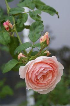 Organic Garden Dreams: August Roses