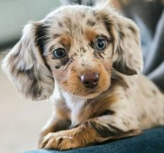 Poodle Mixes – Top 25 Cutest Designer Dogs You Should Know – Welpen Funny Dachshund, Dachshund Puppies, Weenie Dogs, Cute Dogs And Puppies, Baby Dogs, Dapple Dachshund Miniature, Dachshunds, Puppies Puppies, Doggies