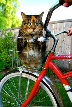 Kitty Ridin' Dirty by KatyaKhatsenko. Girls, there's a lady in Fenwick that does this with her pets. I see her every morning on my run from Ocean City. So adorable. They just sit in the bike basket. Can you see spazz attack/Thumper sitting still for that? :0