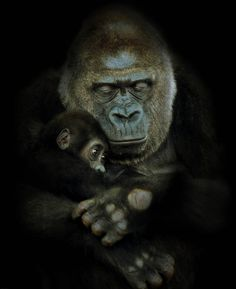 Gorilla ♪♪   Looks like a daddy.