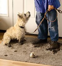 Living With Farm Dogs Farm dogs are like floral arrangements: They bring the outdoors in! Learn some tricks to keep your home clean when you live wit Animals And Their Homes, Blue Skye, Living With Dogs, Farm Dogs, Mini Farm, West Highland Terrier, Farms Living, White Terrier, Hobby Farms